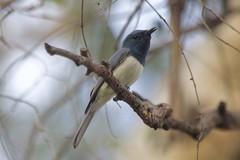 0I6A7352 Leaden Flycatcher (Male) (copsychus) Tags: bird birds australia breeding canberra act nesting 2015 leadenflycatcher pineislandreserve