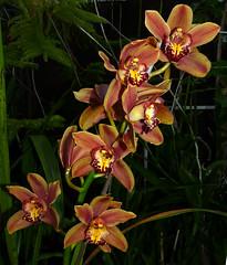 Cymbidium Unknown [D] hybrid orchid (nolehace) Tags: sanfrancisco plant orchid flower fall d unknown bloom hybrid 1215 cymbidium nolehace fz35