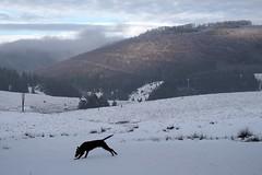esteledik / towards evening (debreczeniemoke) Tags: winter sky dog snow forest landscape kutya ég tájkép hó tél erdő frakk izvoare izvora forrásliget olympusem5