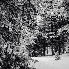 ellis trail snow 01Jan17 (johngpt) Tags: ellistrail snow appleiphone5 lowylensblackeysextrafinefilmnoflash cibolanationalforest cibolanatlforest hipstamatic cedarcrest newmexico unitedstates us