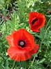 Wheaton, IL, Cantigny Park, Red Poppy Duo (Mary Warren (7.8+ Million Views)) Tags: wheatonil cantignypark nature flora plants red blooms blossoms flowers