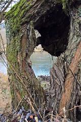 Silberweide (Salix alba), hohler Baumstumpf , NGIDn947351433