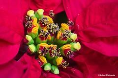 Flowers on balcony (Eleanna Kounoupa) Tags: ελλάδα αθήνα greece athens λουλούδια κόκκινο flowers red ποϊνσέτια αλεξανδρινό poinsettia χριστολούλουδο closeup