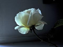 Epifanía (desde mi corazón) Tags: magicunicornverybest rosa contraluz