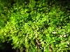 Moss in a garden (k-o-m-a-n-e-k-o) Tags: canon ixy 920 moss garden green plant shade 苔 庭 日陰 緑