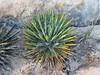 Dwarf Yucca (brewbooks) Tags: sw16 hiking utah taxonomy:kingdom=plantae plantae taxonomy:clade=tracheophyta tracheophyta taxonomy:phylum=magnoliophyta magnoliophyta taxonomy:class=liliopsida liliopsida taxonomy:order=asparagales asparagales taxonomy:family=asparagaceae asparagaceae taxonomy:subfamily=agavoideae agavoideae taxonomy:genus=yucca yucca taxonomy:species=harrimaniae taxonomy:binomial=yuccaharrimaniae yuccaharrimaniae dwarfyucca harrimansyucca yucaenana spanishbayonet taxonomy:common=dwarfyucca taxonomy:common=harrimansyucca taxonomy:common=yucaenana taxonomy:common=spanishbayonet inaturalist:observation=4795906