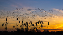 Grasses and birds (alxfink) Tags: grasses birds sky sunset northsee elbe otterndorf swarm flight
