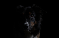 In shadow (Flemming Andersen) Tags: yatzy pet onblack shadow black bordercolli dog hurupthy northdenmarkregion denmark dk