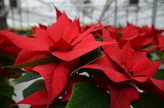 ranks of red and green (simon edge) Tags: poinsettia greenhouse