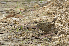 Lincoln's Sparrow (christopheradler) Tags: california lincolns sparrow melospiza lincolnii