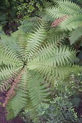 IMG_8969 copy (AsianInsights) Tags: newzealand northisland asiapacific holiday nature 2016 december fern ferntree forest rotorua forestresearchinstitute research
