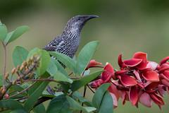 Little Wattlebird (Anthochaera chrysoptera) (Ian Colley Photography) Tags: littlewattlebird anthochaerachrysoptera portmacquarie bird 500mm