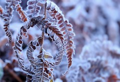 The majesty of winter (John (thank you >1 million views)) Tags: winter blaisecastleestate frost closeup 7dwf flora fern leaves cold december macrophotography emotion henbury bristol spiral majestic