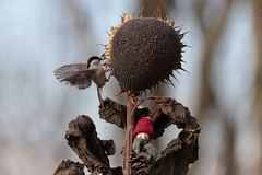 _I5U6080 (carlo612001) Tags: xmastree christmastree bird birds sunflower