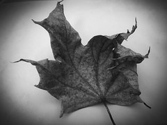 Left over from Autumn (tilljo112) Tags: stilllife iphone nature fallen dry old bw blackandwhite leaf leaves