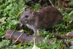 Brown Rat (parry101) Tags: cardiff whitchurch forest farm south wales bird birds animal outdoor brown rat rats rodent mammal