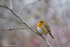 Who ate all the worms! (andyp178) Tags: bird robin redbreast perch branch dof winter nature