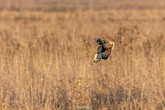ShortEaredOwl-0002.jpg (vorneo) Tags: birdofprey shortearedowl seo bird wild classaves orderstrigiformes familystrigidae genusasio phylumchordata speciesaflammeus wildbird kingdomanimalia binomialnameasioflammeus