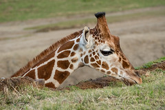 Afternoon Snack (ToddLahman) Tags: giraffe sandiegozoosafaripark safaritram safari safaripark escondido canon7dmkii canon canon100400 mammal animal grass closeup