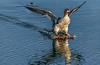 Putting on the breaks (bodro) Tags: bolsachica bird birdinflight ecologicalreserve landing redbreastedmerganser wetlands