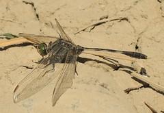 Slender Skimmer (Orthetrum sabina) Male (Rezamink) Tags: orthetrumsabina slenderskimmer odonata dragonflies uae