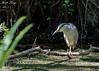 Black Crowned Night Heron (dbking2162) Tags: birds bird shore heron swamp slough black water wading animal hunting fortmyersbeach florida