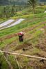 IMG_4384 (PPFractal) Tags: indonesia bali asia arroz rice ricefields composdearroz agricultura griculture wrok worker trabajdor granjero granja farm farmer