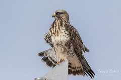 Stretching Rough Legged Hawk