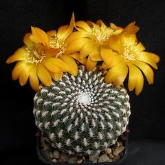 Sulcorebutia arenacea PHA731 '059' (Pequenos Electrodomésticos) Tags: cactus cacto flower flor sulcorebutia sulcorebutiaarenacea
