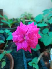 IMG_20170304_082614 (Rodrigo Ribeiro) Tags: nature natureza garden gardening jardim jardinagem flor flores flower backyard