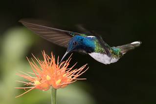 White-necked Jacobin-10