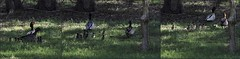 Australian Wood Ducks with Chicks - 2015.08.14 (Brissy Girl - Jan, my computer crashed again) Tags: duck ducklings australia woodduck australianwoodduck familyanatidae seqld henonettajubata