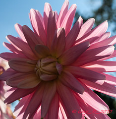 Dahlia rose (Guy_D_2010) Tags: flower flor blumen blomma quintaflower bunga  blume fiore blomst gul virg hoa bloem lill blm iek  kwiat blodyn   lule kukka d90   cvijet  blth cvet  zieds  gl kvtina kvetina floare  chaumontsurloire languageofflowers   fjura    voninkazo