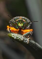 Metallic green and orange Sauropus bug Lampromicra senator was philia sp Scutelleridae Airlie Beach P1160976 (Steve & Alison1) Tags: orange green beach bug was senator metallic sp airlie philia scutelleridae lampromicra sauropus