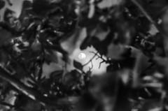 (Hélder Santana) Tags: claro light brazil blackandwhite bw moon white black tree slr art luz nature beauty branco brasil night composition contrast dark island photography prime flora nikon dof arte natural bokeh natureza picture naturallight center pb spot preto clear 25 contraste lua noite santana beleza manual portfolio fotografia nikkor dslr arvore lowkey chiaroscuro ilha pretoebranco f25 ai escuro 105mm composição nikkor105mmf25ai itamaraca itamaracá 105mmf25 bealtiful nikon105mmf25 nikkor105mmf25 luznatural 105mm25 ilhadeitamaraca d7k d7000 itamaracaisland nikon105mmf25ai heldersantana nikond7000 héldersantana