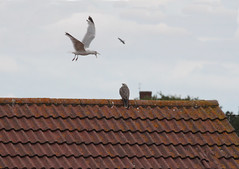 Intruder alert (aitch tee) Tags: nature birds wildlife gulls naturalworld birdsofprey sparrowhawk walesuk rhoose