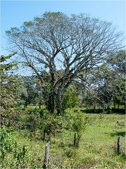 Árbol - Tamazuchale SLP México 150221 124013 05931 RX100M3 (Lucy Nieto) Tags: méxico árboles sanluispotosí tamazunchale huastecapotosina