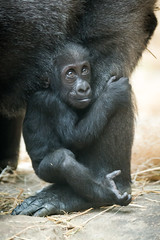 Baby Gorilla Smiling and Looking Up (Eric Kilby) Tags: park baby animal zoo franklin gorilla massachusetts ape primate aziza westernlowland