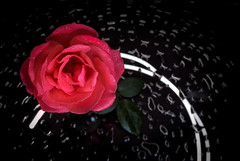 Pink rose on black mirror (nexpo420) Tags: pink wallpaper black flower color macro love nature water floral beautiful beauty up rose closeup mirror design spring focus soft close blossom background object drop romance fresh petal card gift droplet romantic delicate