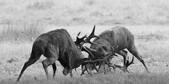 IMG_5443 (Sula Riedlinger) Tags: london stag surrey deer reddeer richmondpark