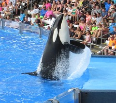 Killer Whale_1780-crop (G Kirk) Tags: world ocean sea blackandwhite white fish black water one blackwhite orlando marine florida dolphin killer whale fl orca seaworld majestic mammals shamu killerwhale grampus centralflorida orcinus blackfish gkirk orcawhale oneocean canonsx50hs