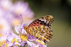 Indian fritillary (Yorkey&Rin) Tags: autumn japan butterfly tokyo october olympus 秋 rin 10月 昭和記念公園 2015 蝶 東京都 showakinenkouen em5 indianfritillary シオン ツマグロヒョウモン olympusm75300mmf4867ii pc237797