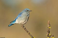 mountain bluebird (lee barlow) Tags: oregon nikon mountainbluebird fortrock sialiacurrucoides leebarlow birdsofnorthamerica
