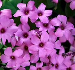 Padova - giardino fiori (antosti) Tags: art nikon italia d70s rosa fiori oxalis padova veneto cespuglio bordura
