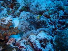 Superbe anémone et sa famille de clowns (Valerie Hukalo) Tags: coral asia nemo indianocean diving anemone asie reef maldives plongée anémone underwaterphotography corail poissonclown récif océanindien plongéesousmarine rasdhoo rasdhooatoll photographiesousmarine photographieaquatique