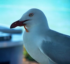 Silver Gull (Oriolus84) Tags: bird animal wildlife seagull gull australia queensland thestrand townsville injured laridae silvergull larusnovaehollandiae protuberance chroicocephalusnovaehollandiae