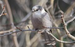 Gray Jay - Female (Perisoreus canadensis) (Charles Moreau Photography) Tags: birds nikon wildlife northernontario greyjay whiskeyjack canadajay d7100 borealforests grayjayfemaleperisoreuscanadensis