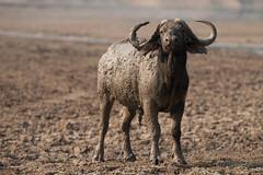 SK7_1770 (glidergoth) Tags: park south safari national zambia waterbuffalo luangwa bubalusbubalis