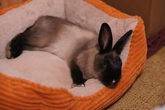 Toki (Anomieus) Tags: pet cute rabbit bunny bunnies animal furry konijn conejo tail ears rabbits paws coney coelho lapin kaninchen houserabbit coniglio cottontail ウサギ cony kanin кролик królik leporidae nyúl κουνέλι iepure заяц leporid กระต่าย 집토끼 兔子的毛皮 kunić питомен