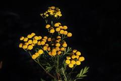 Wild Flower (Hugo von Schreck) Tags: flower macro tanacetumvulgare rainfarn tamronspaf180mmf35dildifmacro11 canoneos5dsr